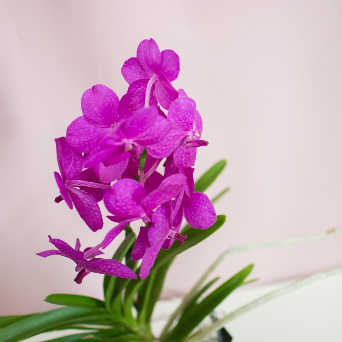 """Орхидея """"Ванда"""" фиолетовая"""