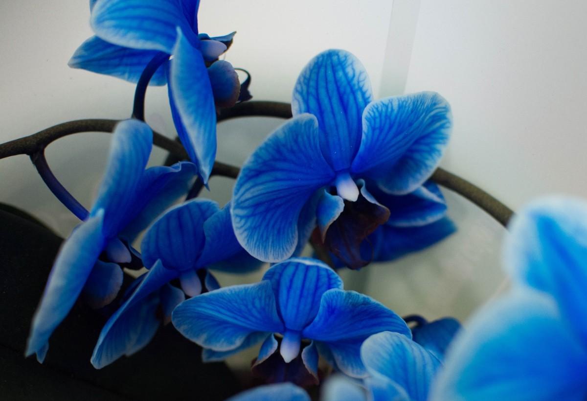 Синяя спиралевидная орхидея в горшке