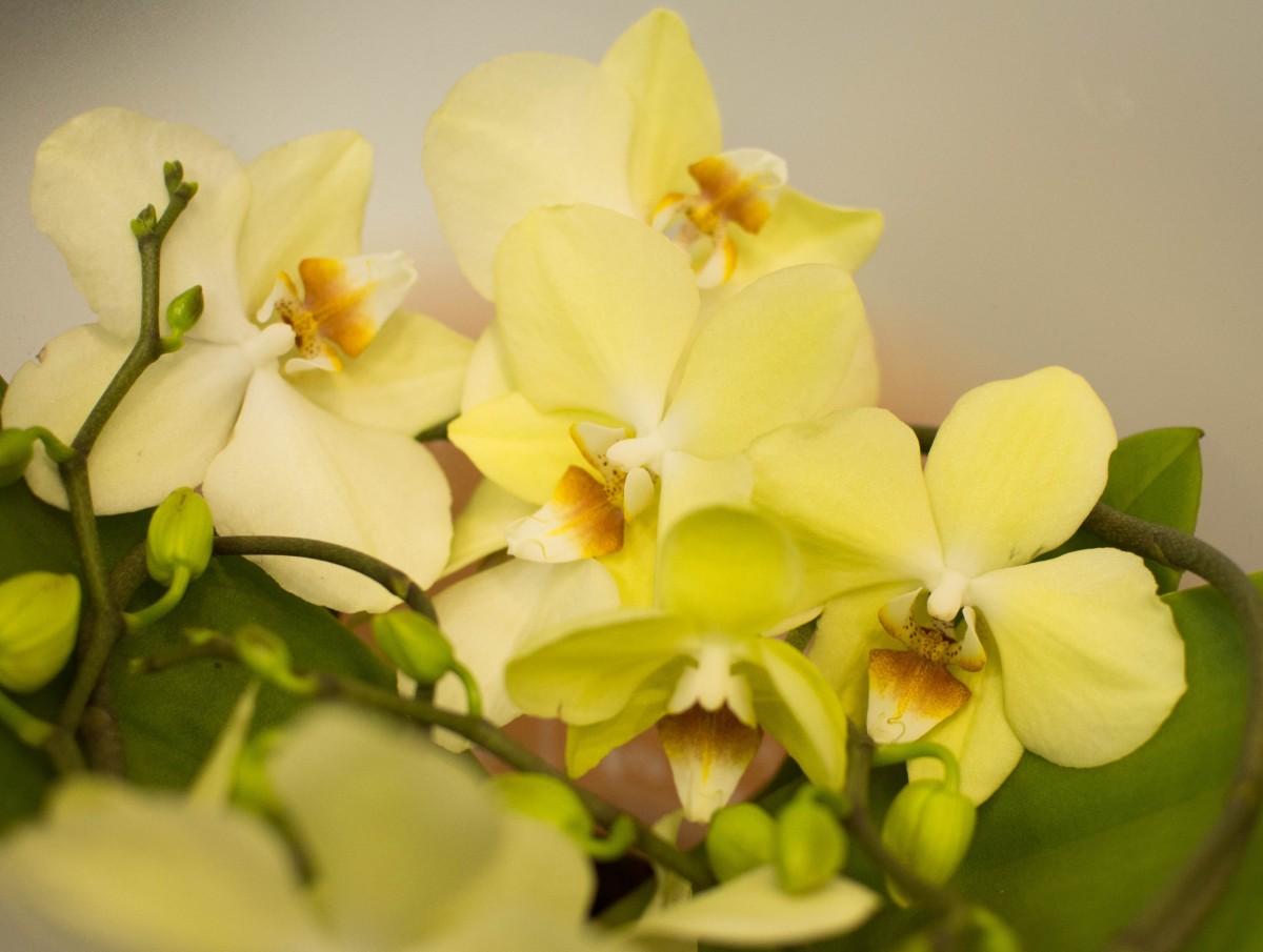 Орхидея спиралевидная в горшке