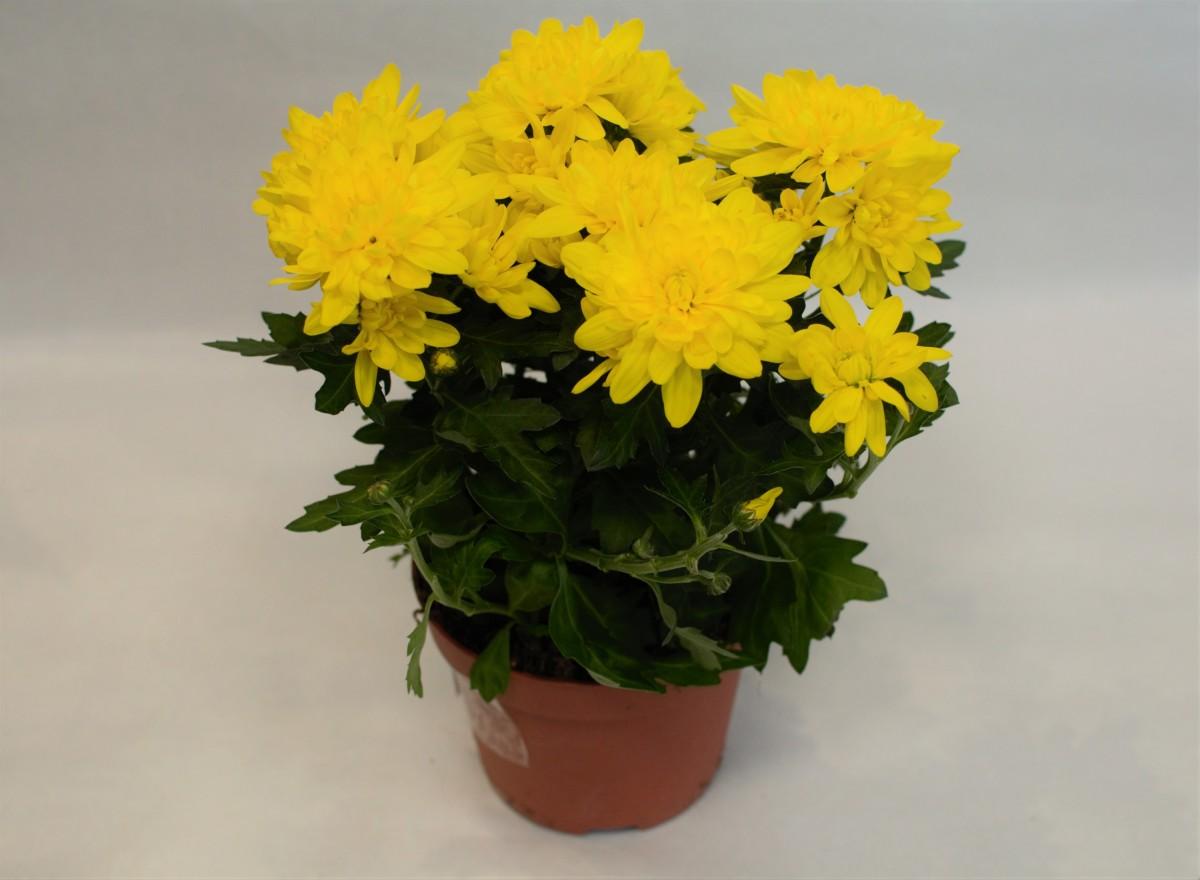 Желтая хризантема в горшочке
