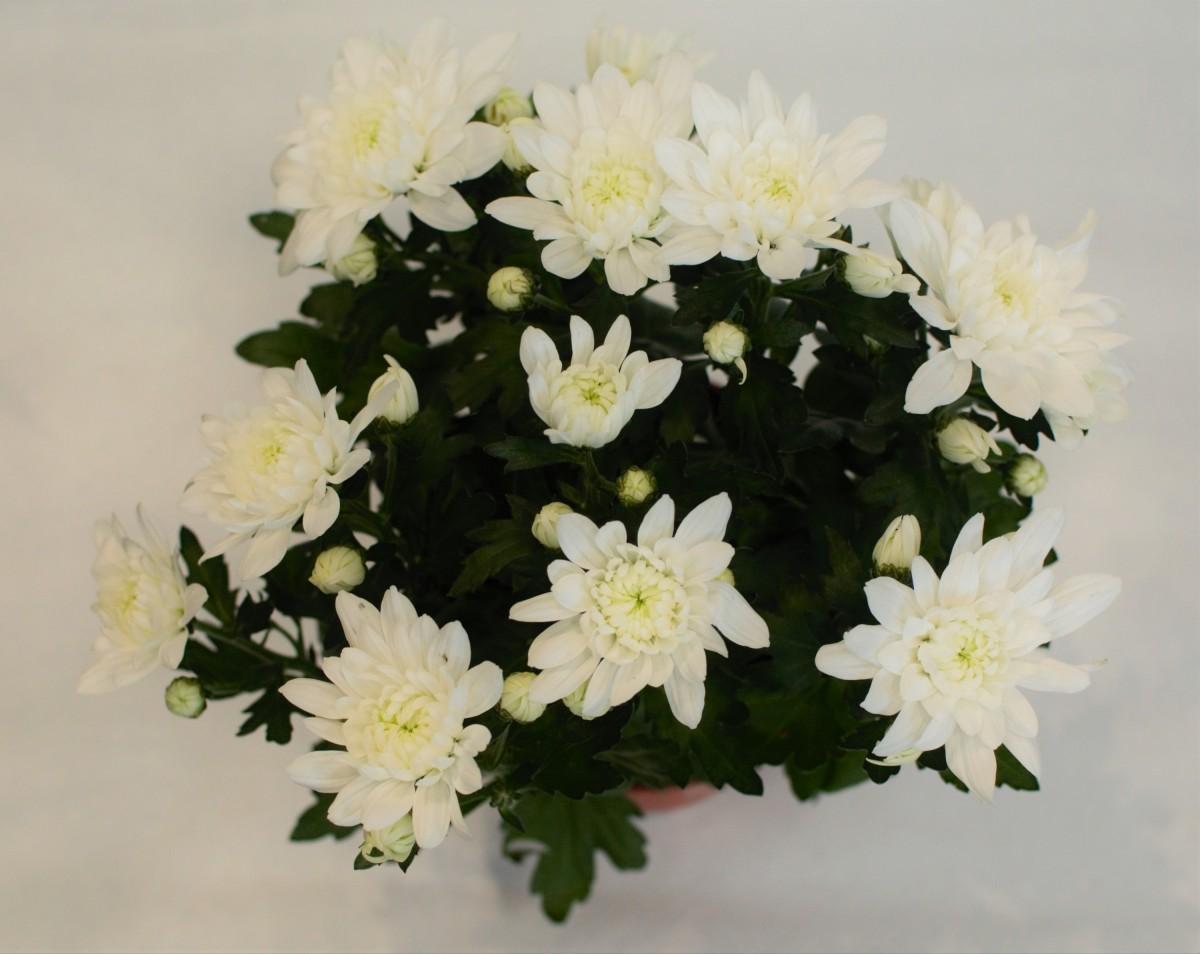 Белая хризантема в горшочке