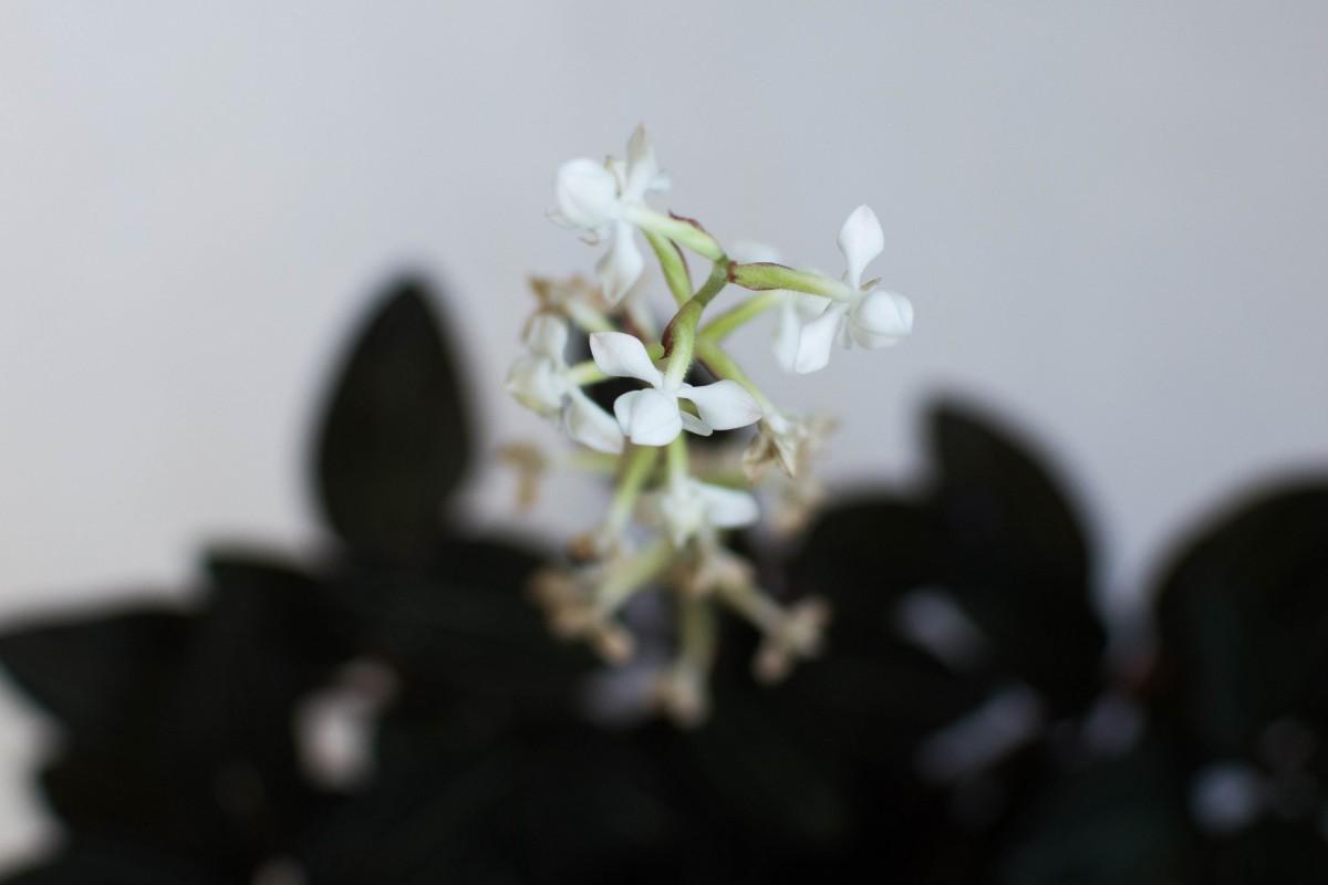 Орхидея землянная в горшочке