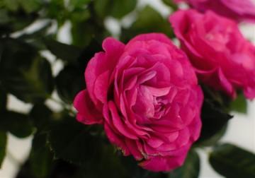 Комнатные розы в Иркутске